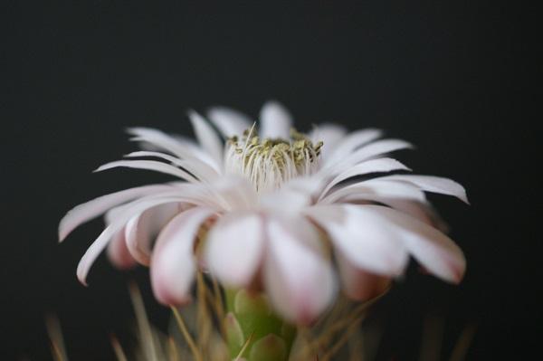 翠晃冠の花。満開のようす。