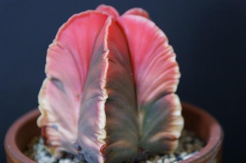 サボテン科 アストロフィツム属 紅葉碧瑠璃鸞鳳玉(モミジヘキルリランポーギョク)