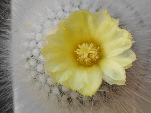 黄花雪晃(キバナセッコウ) 黄色い花が咲きます。