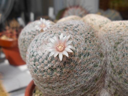 雪絹丸の花