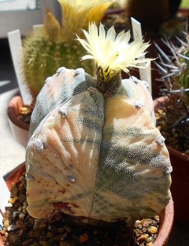 四角鸞鳳玉の花