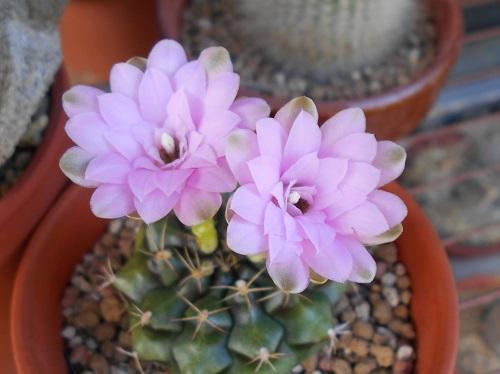 麗蛇丸の花