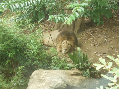 ライオン(元写真)