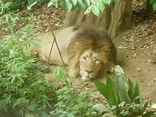 ライオン(レタッチ後)