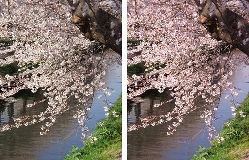 元画像とレタッチ後の桜の写真