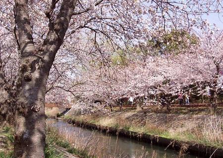桜の写真(ロング)