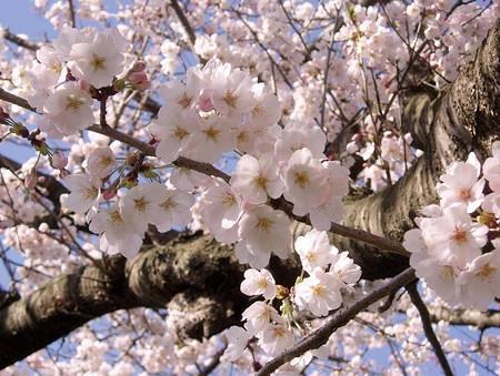 桜の写真(アップ)