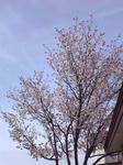 ガーデニング 桜