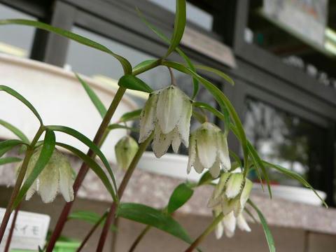 越の小貝母(コシノコバイモ)