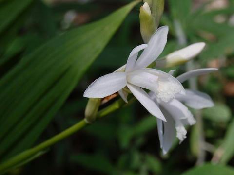 白花紫蘭(シロバナシラン)