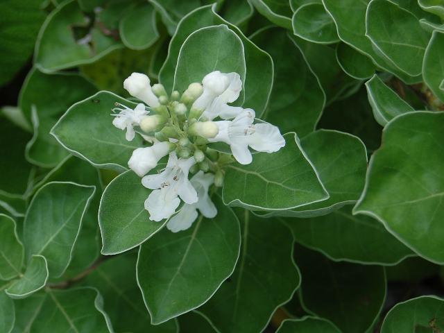 白花蔓荊(シロバナハマゴウ) 花図鑑 白い花・9月 花の色調べ 白い花・9月