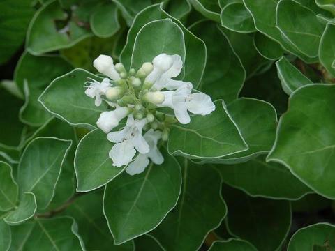 白花蔓荊(シロバナハマゴウ)