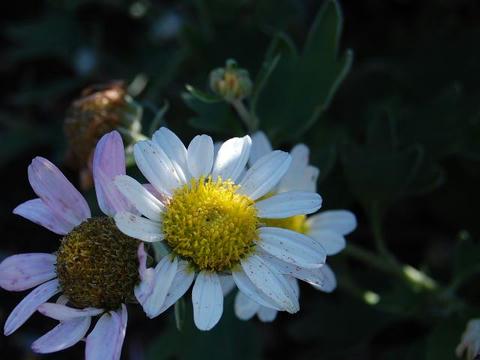 大島野路菊(オオシマノジギク)
