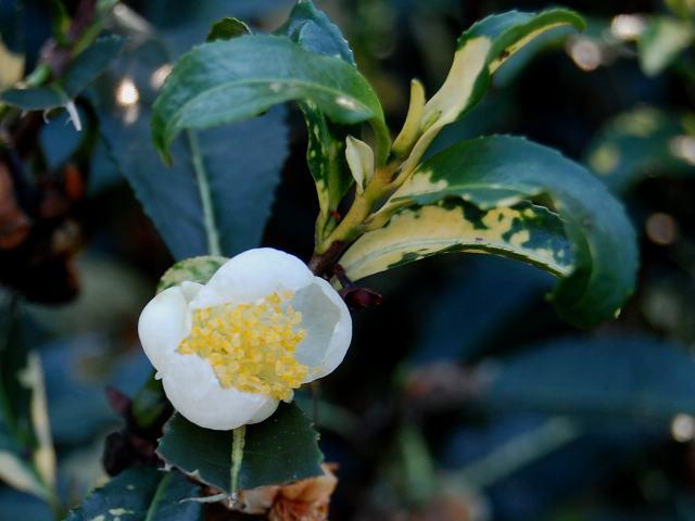 斑入り茶の木(フイリチャノキ) 花の色調べ 斑入り茶の木(フイリチャノキ) Admin | Re