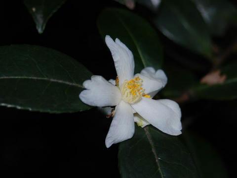 台湾山茶花(タイワンサザンカ)