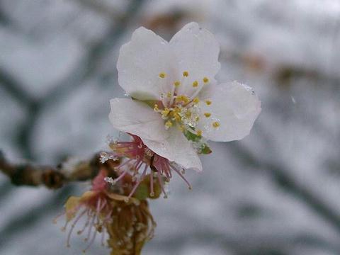 三波川冬桜(サンバガワフユザクラ)