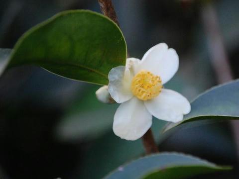 尖り葉椿(トガリバツバキ)