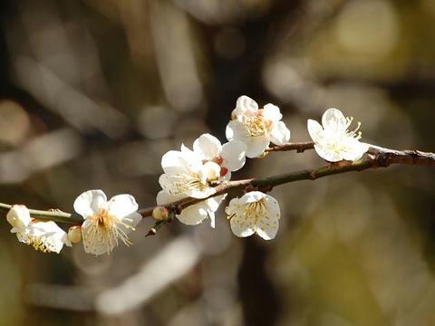 白加賀(シロカガ)