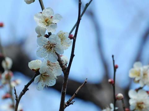 冬至梅(トウジバイ)