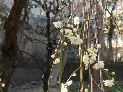 緑萼枝垂(リョクガクシダレ)
