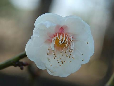 玉牡丹(タマボタン)