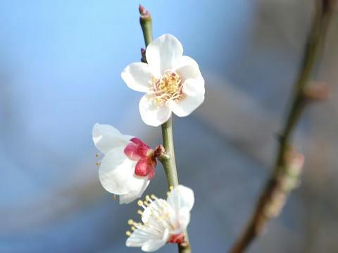 雪月花(セツゲツカ)