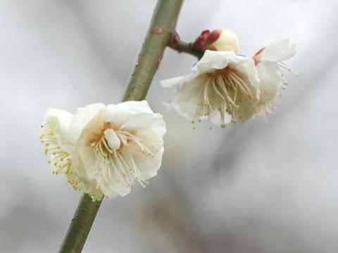 残雪枝垂(ザンセツシダレ)