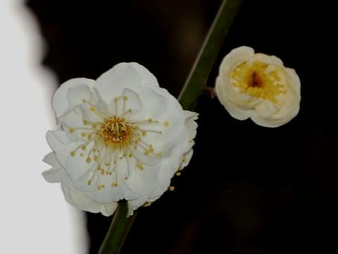 春の粧(ハルノヨソオイ)