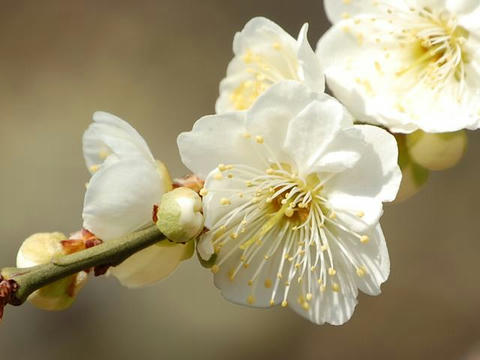 緑萼梅(リョクガクバイ)
