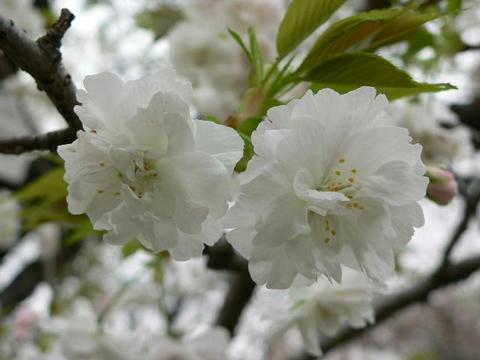 八重の大島桜(ヤエノオオシマザクラ)