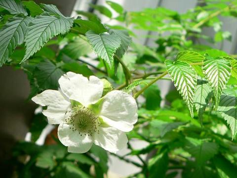 琉球薔薇苺(リュウキュウバライチゴ)