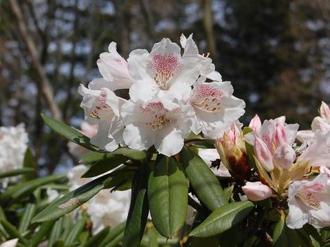 赤星石南花(アカボシシャクナゲ)