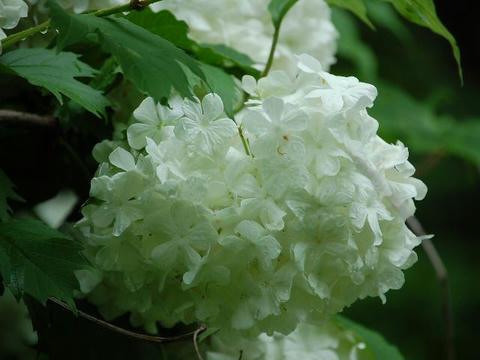 手毬肝木(テマリカンボク)