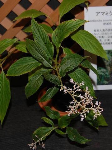 奄美草紫陽花(アマミクサアジサイ)