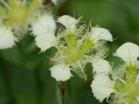 白髭梅鉢草(シラヒゲウメバチソウ)