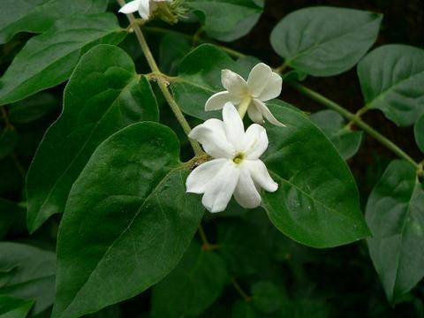 ボルネオ素馨(ボルネオソケイ)