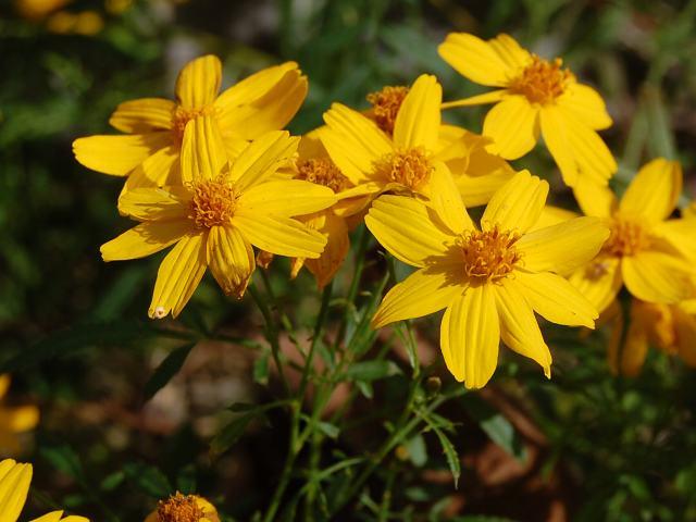 レモンマリーゴールド 今日の花ドットコム花図鑑 黄色い花・11月  花の色調べ 黄色い花・11月