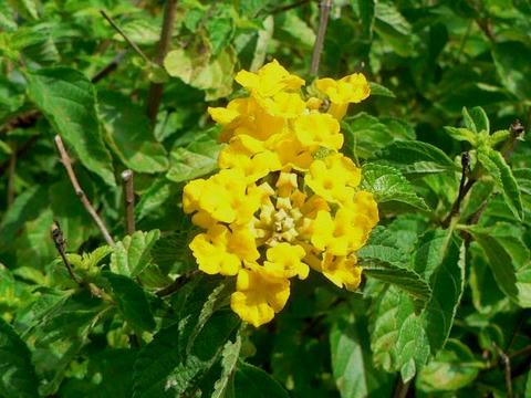 黄花ランタナ(キバナランタナ)