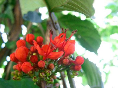 紅花臭木(ベニバナクサギ)