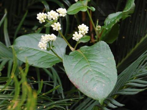 蔓蕎麦(ツルソバ)