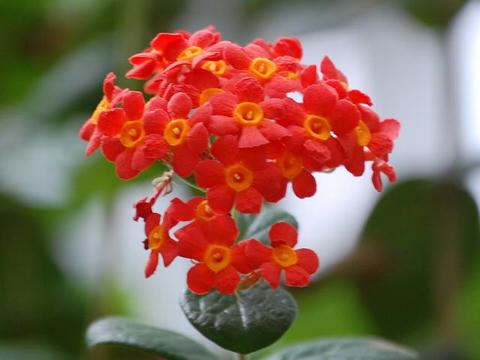 紅茉莉(ベニマツリ)