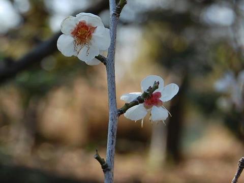 錦性野梅(ニシキセイヤバイ)