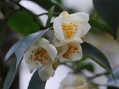 白鳩椿(シラハトツバキ)