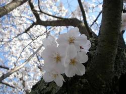 神社裏桜2