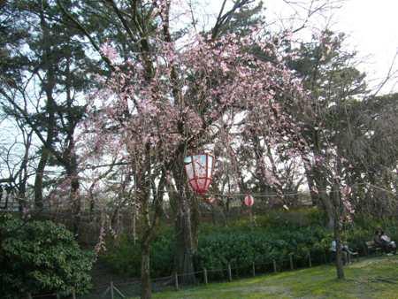 名古屋城の枝垂桜