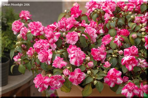 バラ咲きのインパチェンス「フィエスタ」