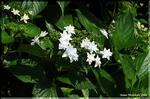 炸裂する粋な白花 「墨田の花火」