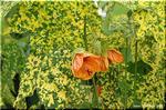橙の花 アブティロン「タンジェリン」