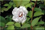 輝く青い薔薇 「ブルーヘブン」