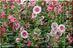 艶やかな初夏の花 タチアオイ
